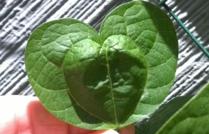 A perfect heart-shaped leaf that sprouted on my green bean bush.